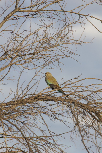 Mulga Parrot (female), Alice Springs, NT