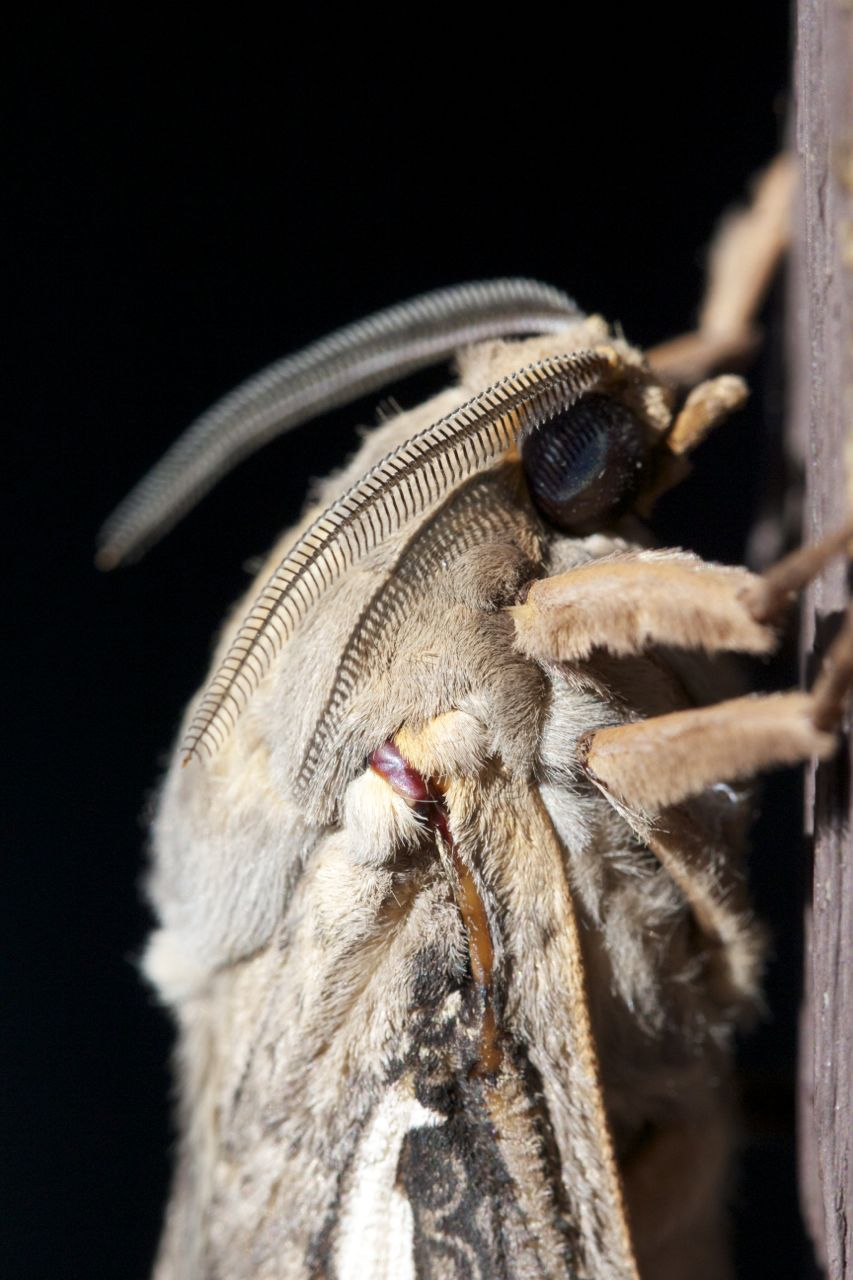 Privet Hawk Moth head, Alice Springs, NT