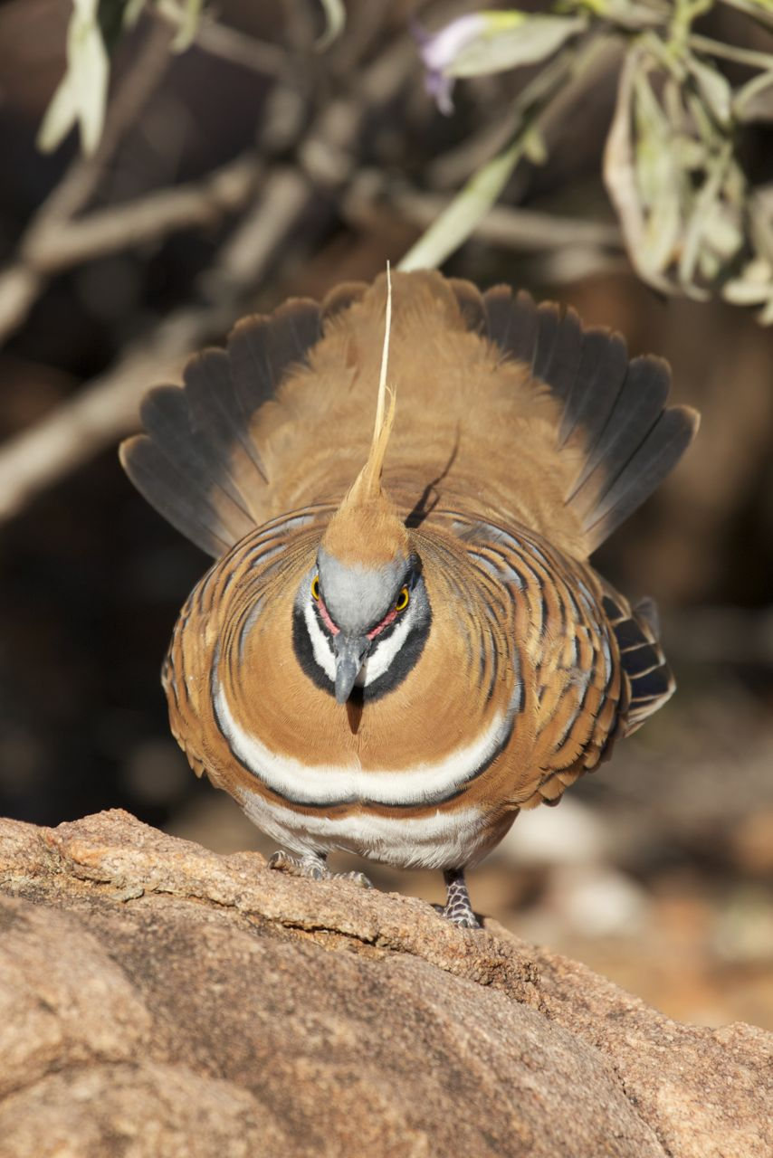 Spinifex Pigeon displaying, Alice Springs, NT