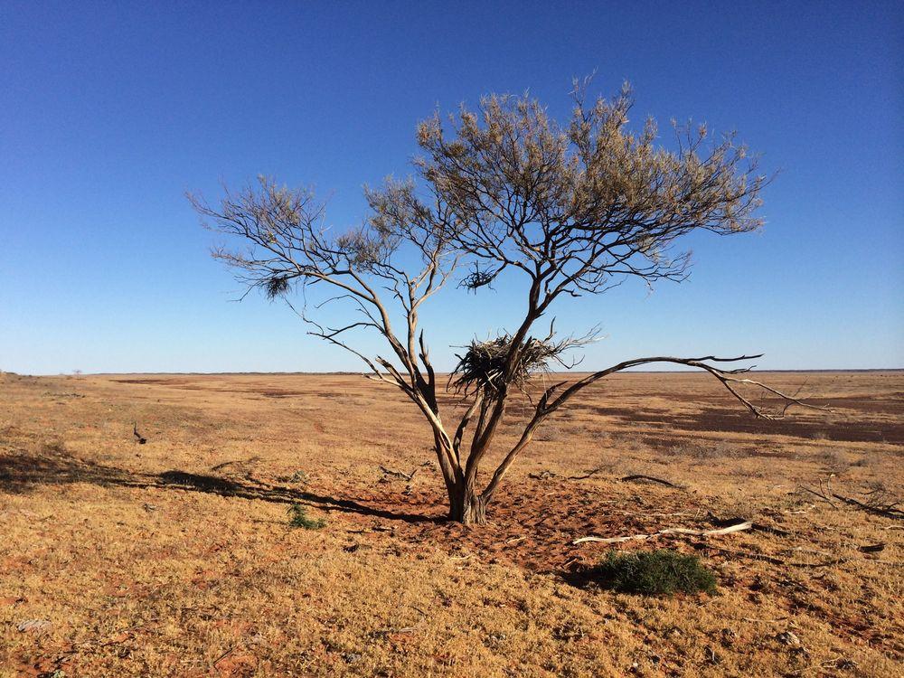 Abandoned raptor nest,Simpson Desert, NT