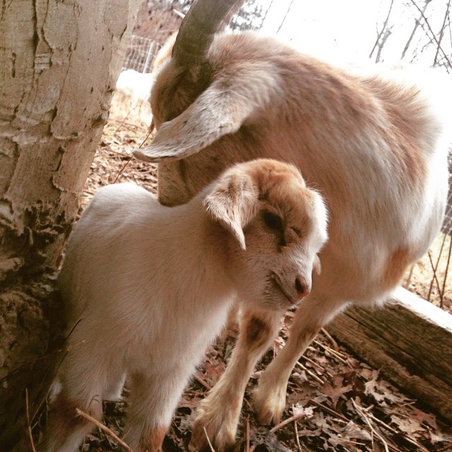 Baby goats at Eden Thistle, photo from the Eden Thistle Facebook page