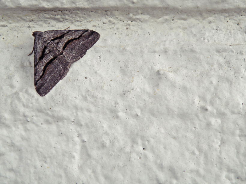 Shaded Granite Moth