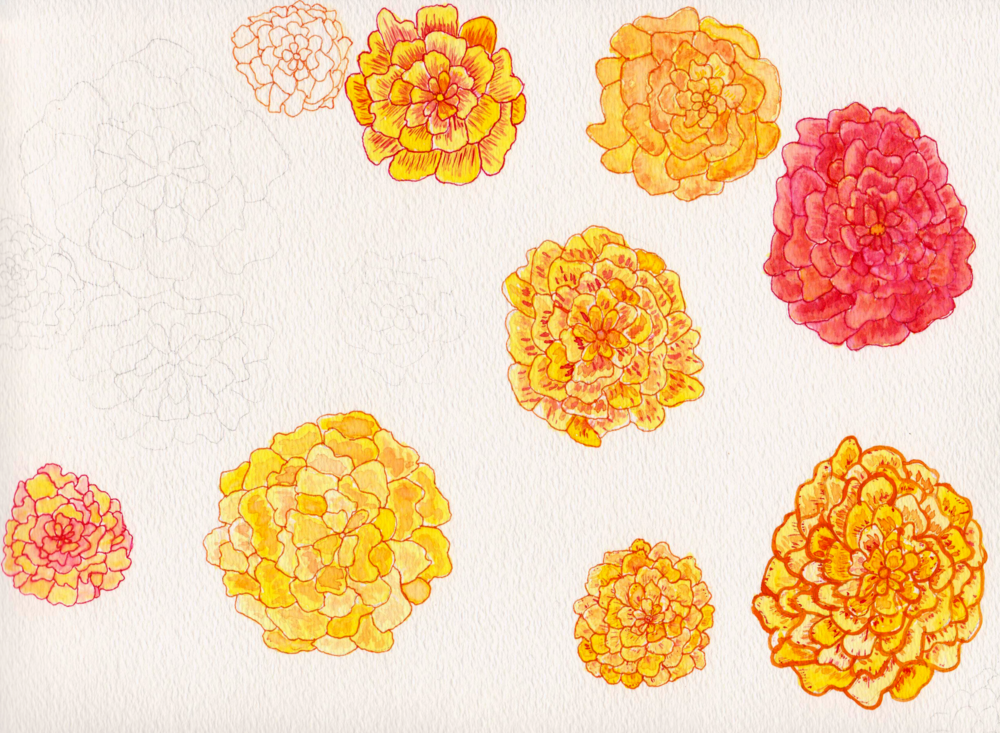 Marigold Study