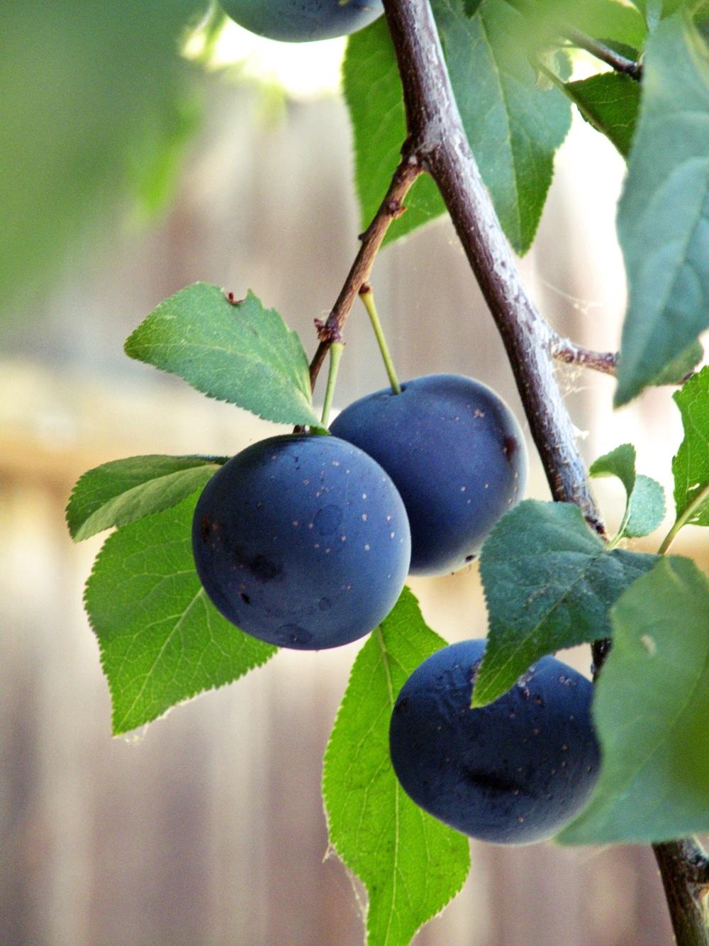 Cherry Plums