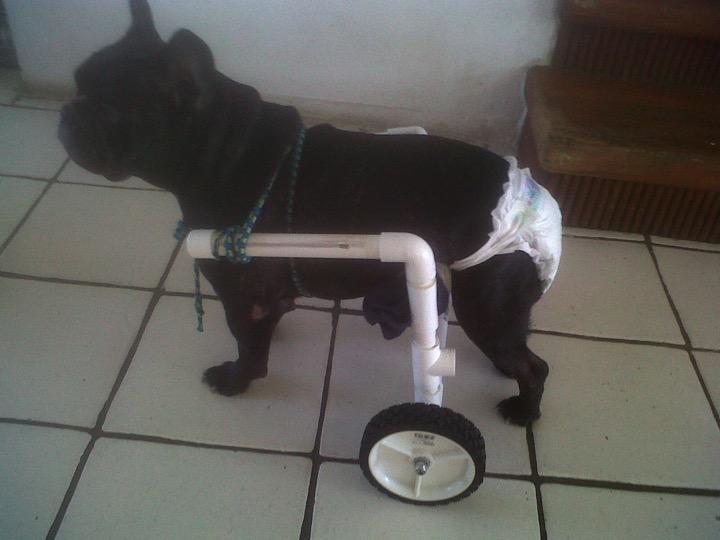 sick dog chiropractic care adjustment vet