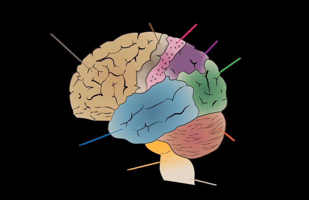 neurologia quiropráctico  salud  anatomia