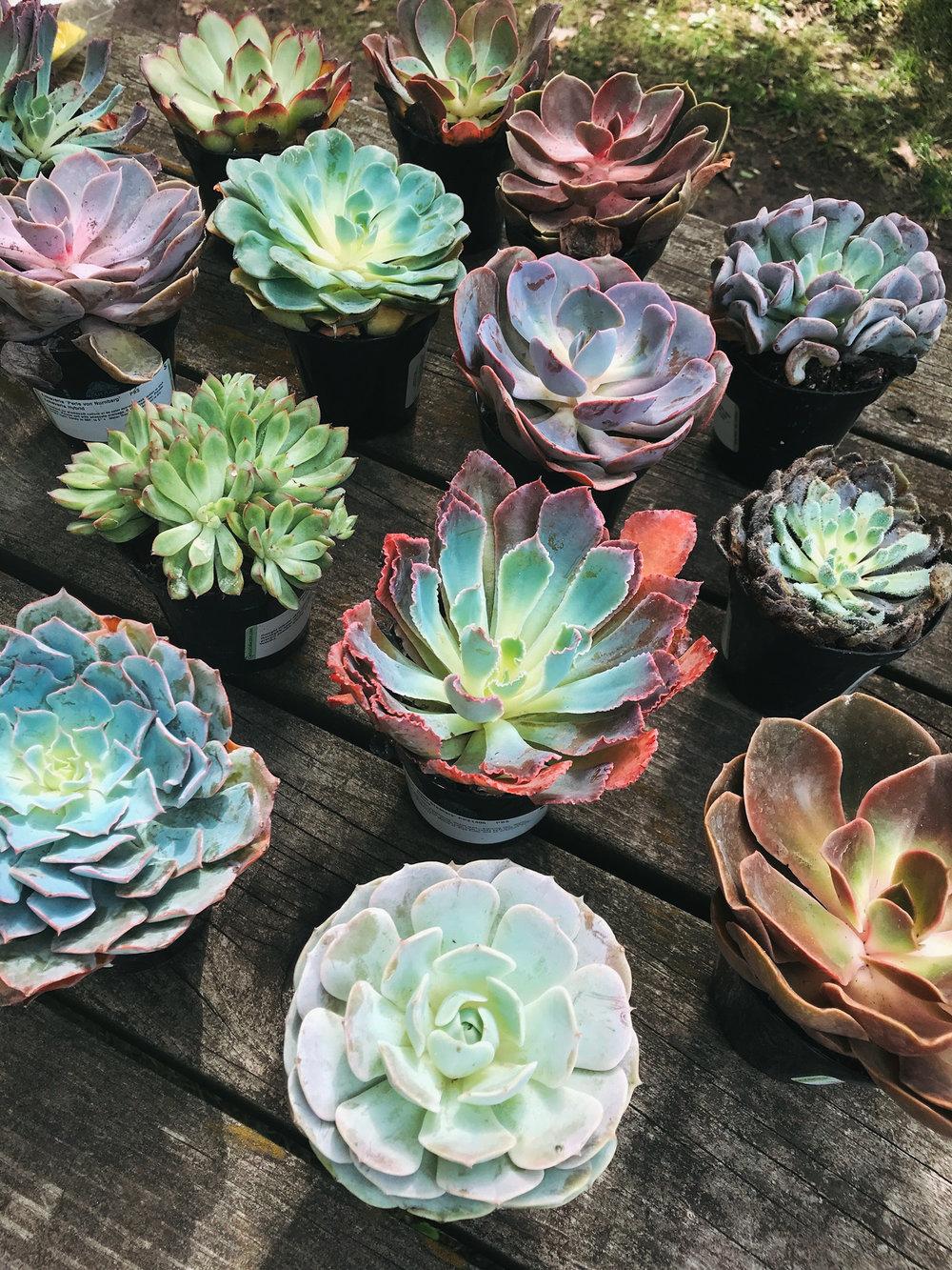 echeveria_succulent_home_depot_paint_pot.jpg