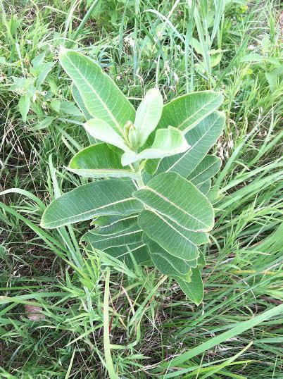 A young milkweed