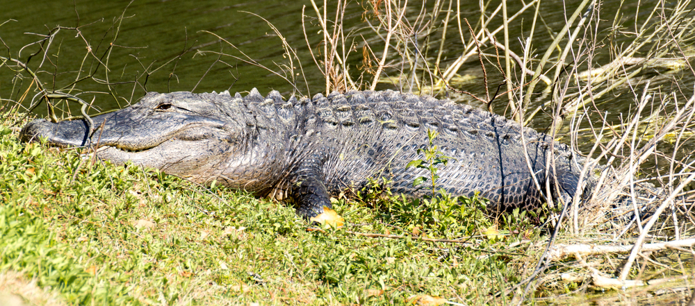 An alligator lounging on the shore of a pond in the afternoon.
