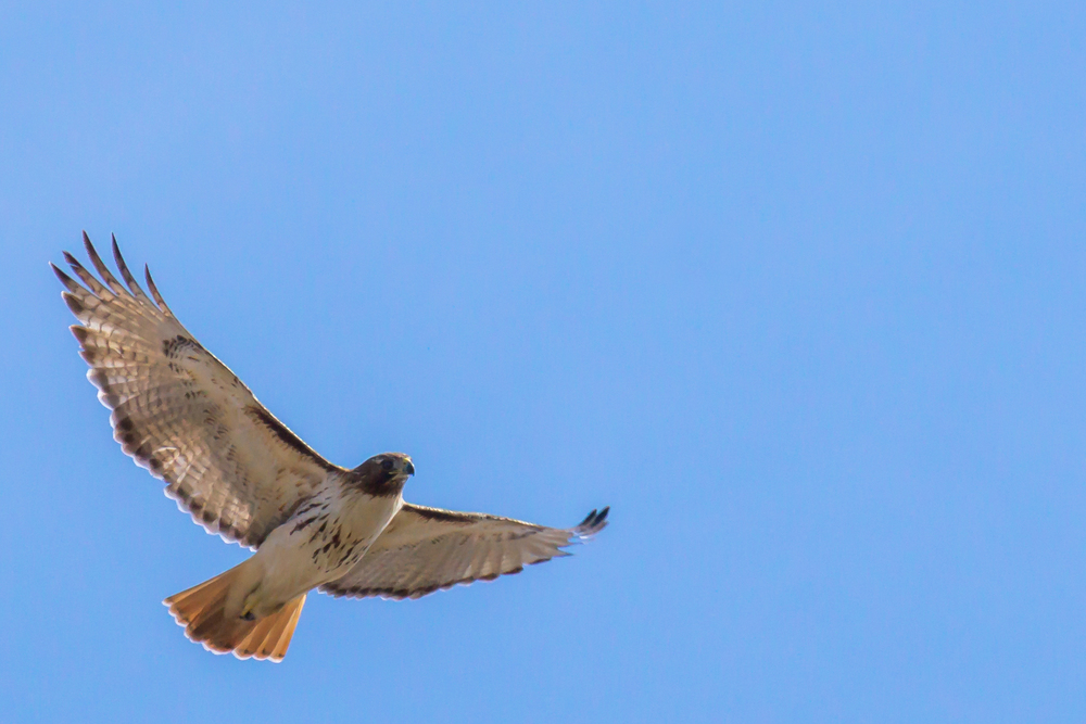 A Red-Tailed Hawk taking to the sky on a clear day.