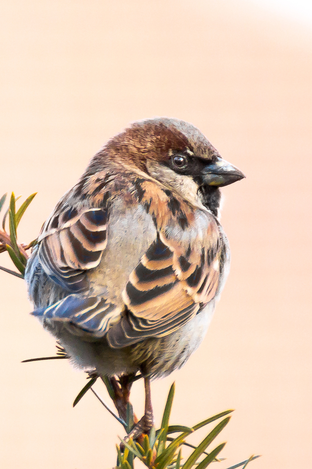 This shot of a house sparrow has a brick building behind it and the blur created behind the subject by the lens is a natural blur.