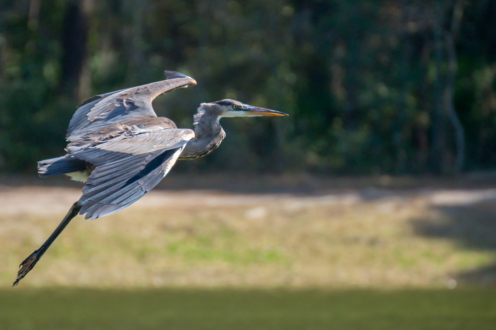 #9 BIF - Heron in South Carolina