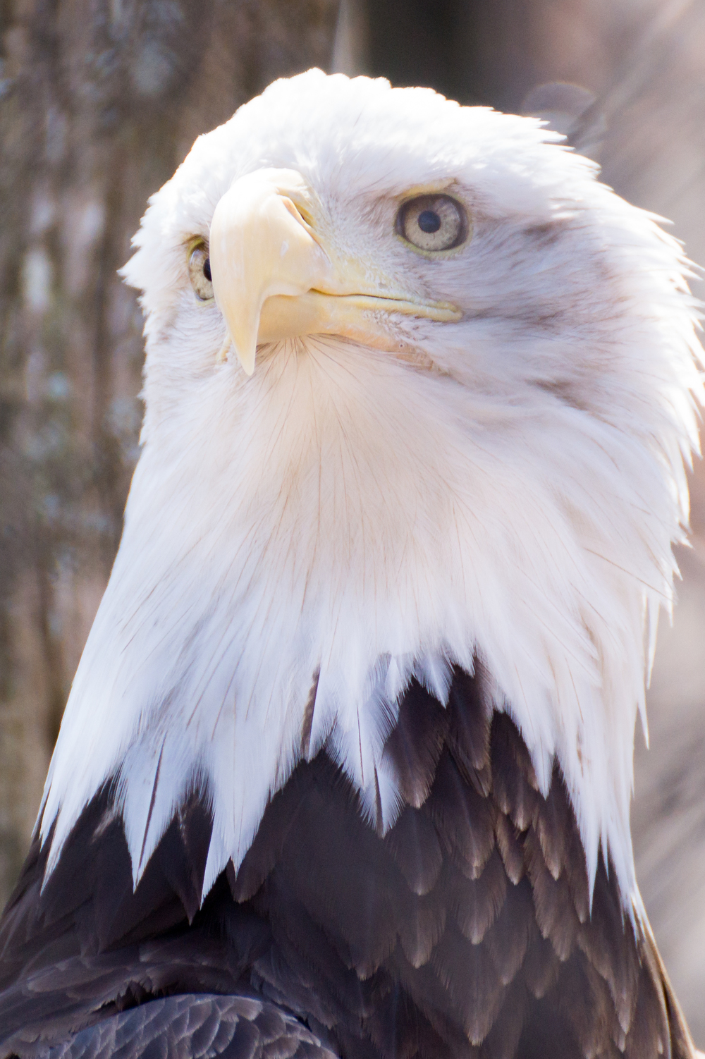 #6 Majestic Bald Eagle