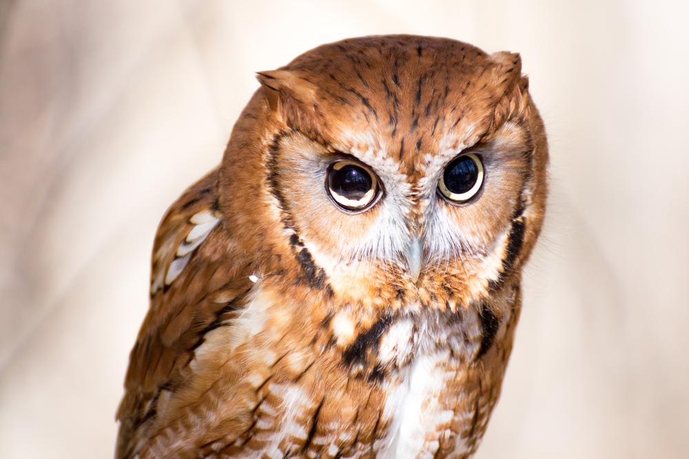 #1 The Owl
