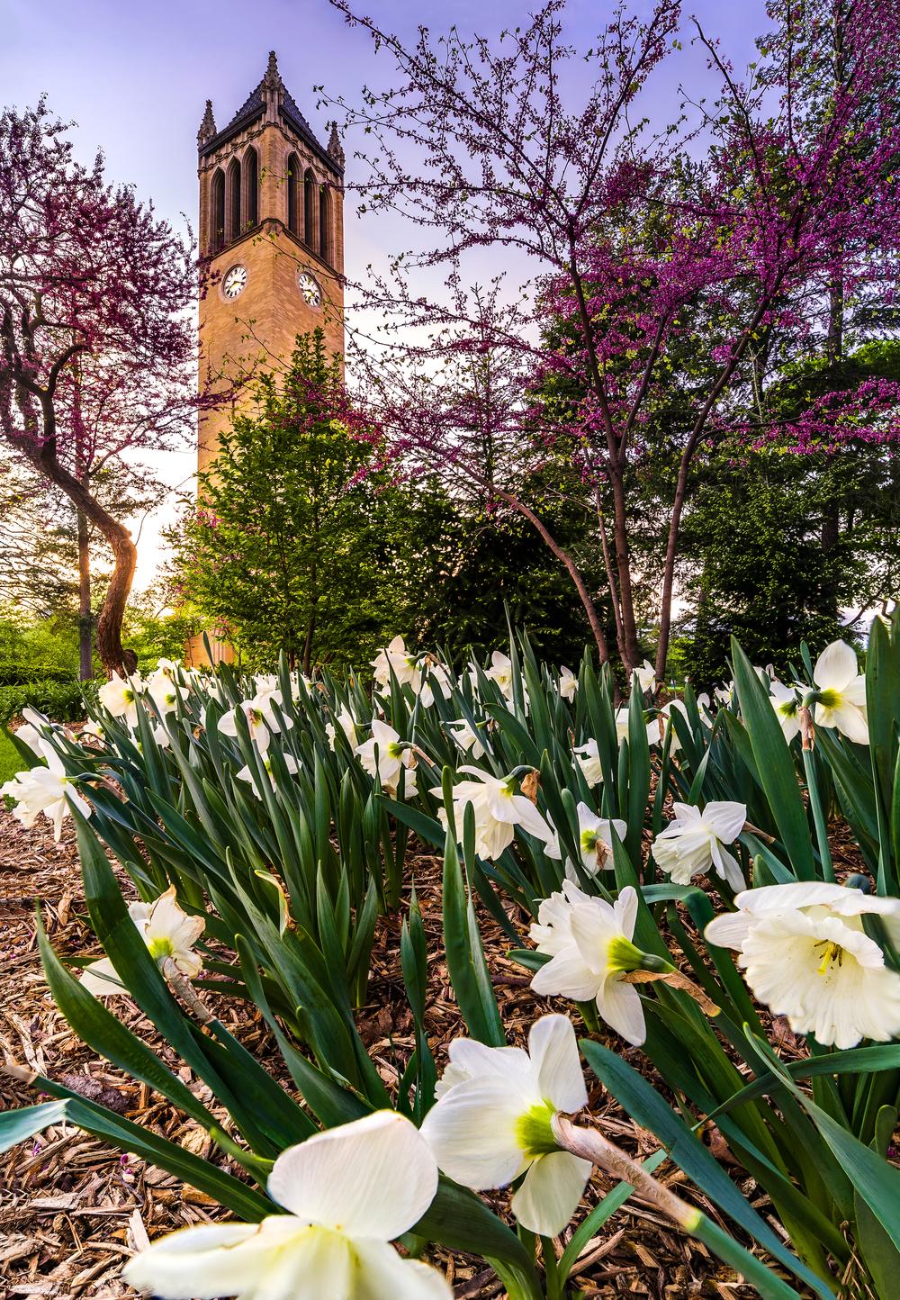Springing Campanile copy.jpg