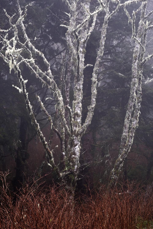 smoke and pepper fog tree forest Oregon coast