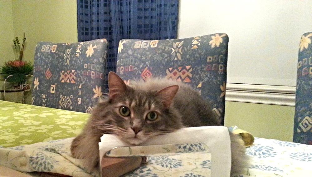 Pet adoption - Montreal shelter - SPCA - Pepita - Cat - My Girl Montreal