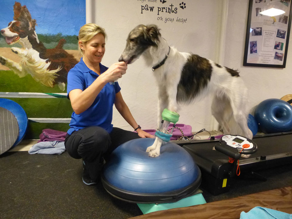 By placing Cortez's hind limbs on a land treadmill and forelimbs on an unstable surface, Cortez has to work hard to learn how to use his left forelimb after multiple orthopedic surgeries!