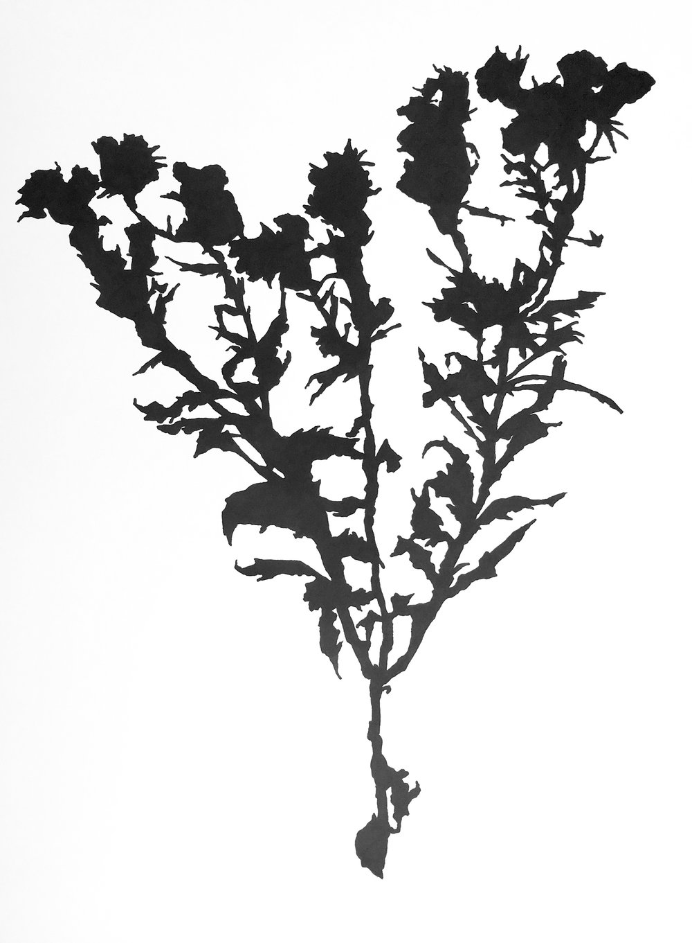 """Dead Thistle Study , ink on paper, 24 x 18"""""""