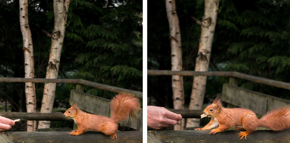Red squirrel with his little ear tufts!