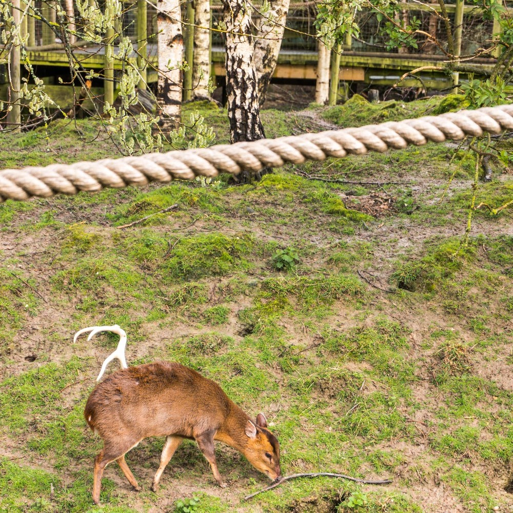 This funny-looking creature is a Muntjac, a type of deer introduced from Asia