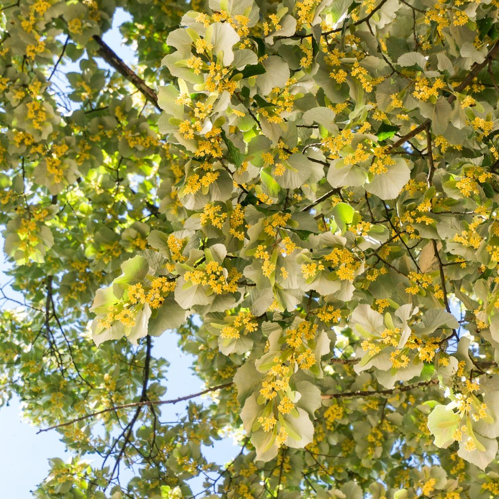 Pretty, but induced a sneezing attack everytime I walked under this tree!