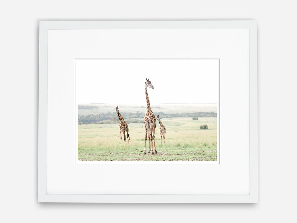 Masai Giraffes.jpg