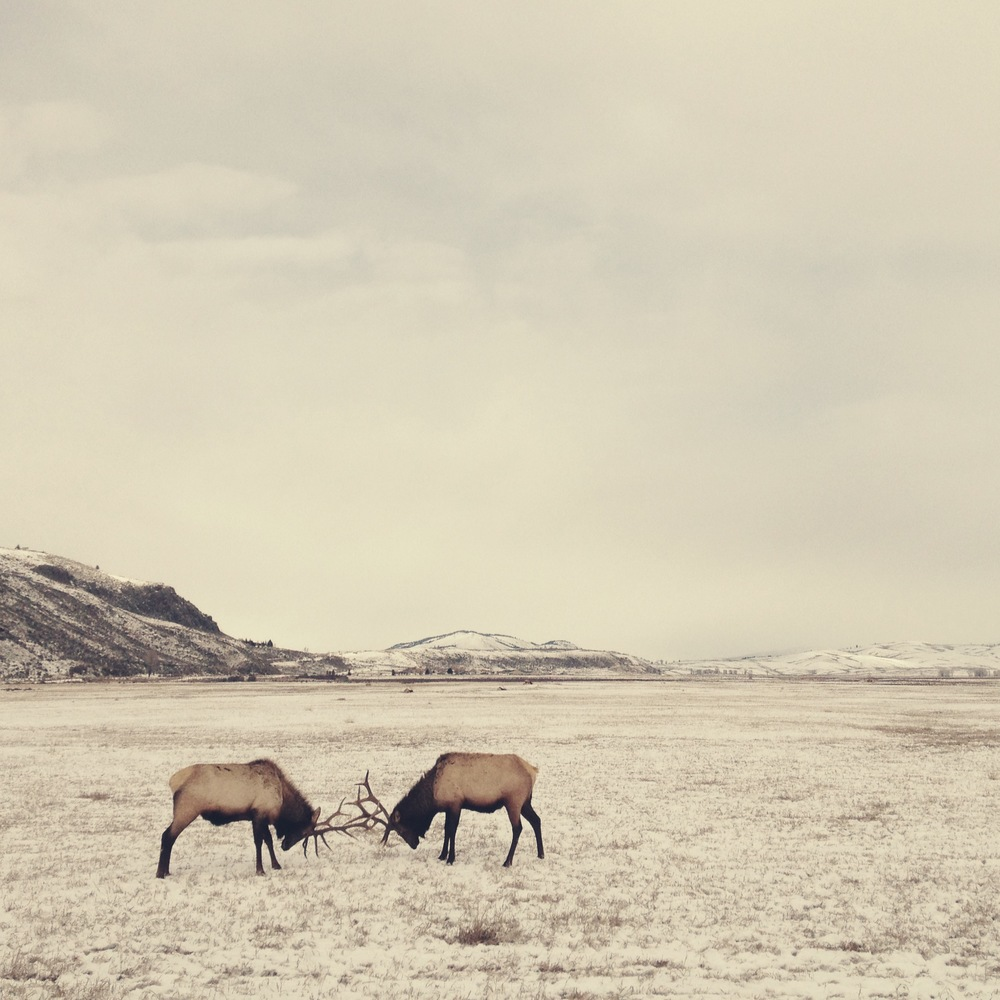 sparring-elk-wyoming.jpg