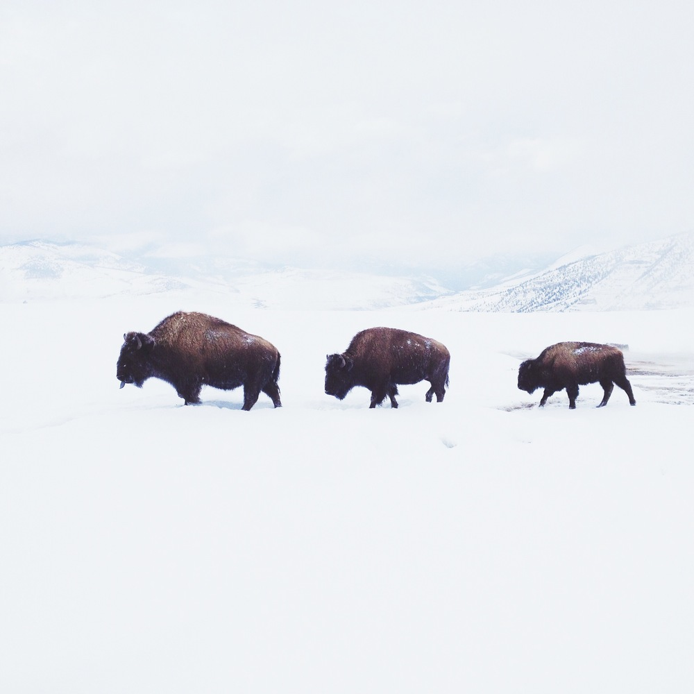 bison-family-winter.jpg