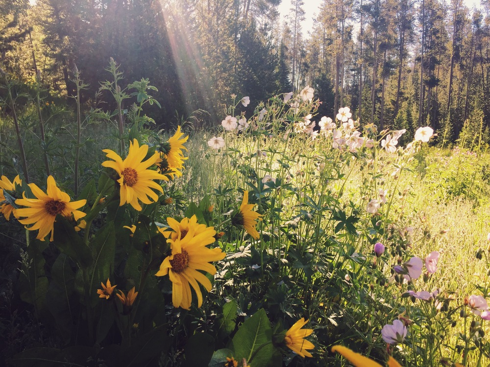 Morning light on summer wildflowers on the hike up to Elk Mountain in the Wyoming Range - one of my new favorites.