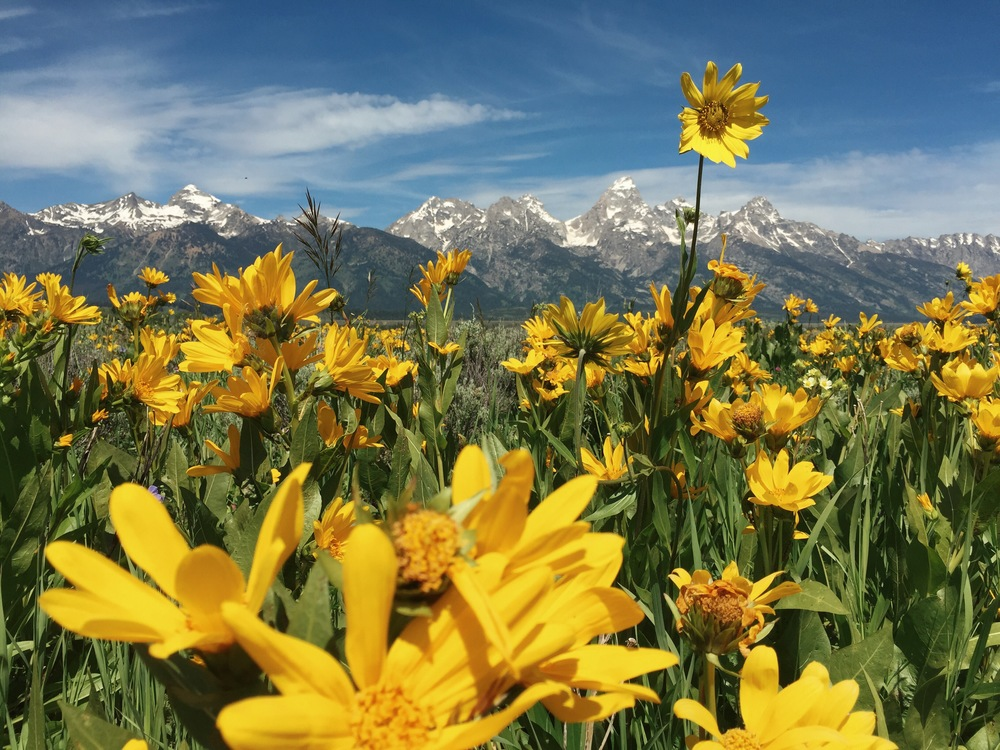 Lingering in this field of happiness in  Grand Teton National Park .