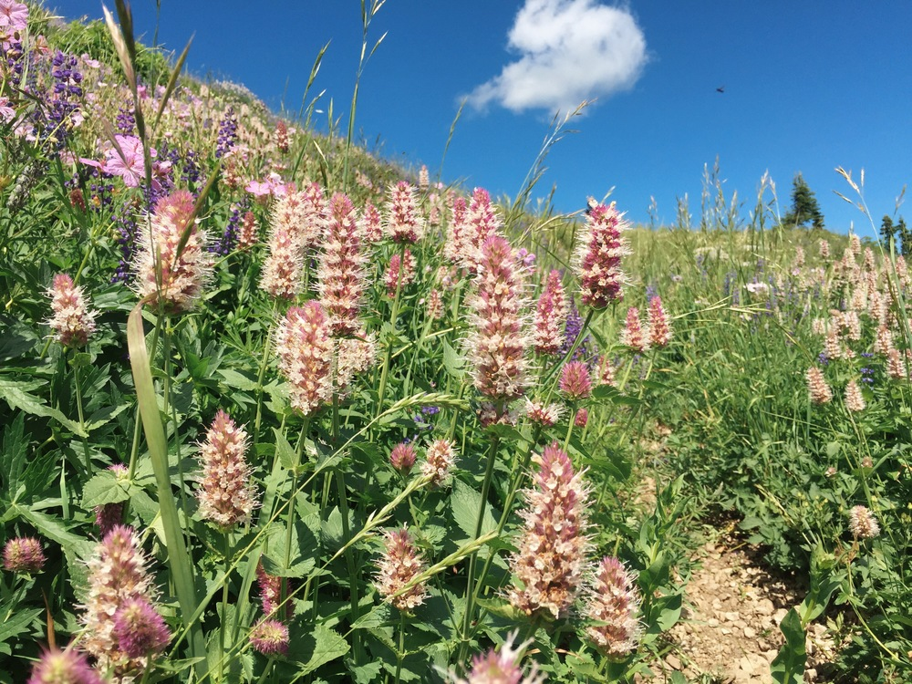 Hiking through fields of tall, trail-obscuring Nettle-leaf Horsemint, Lupine and Sticky Geranium on the long, strenuous route up to Liar's Pass in the Big Hole Mountains of eastern Idaho.