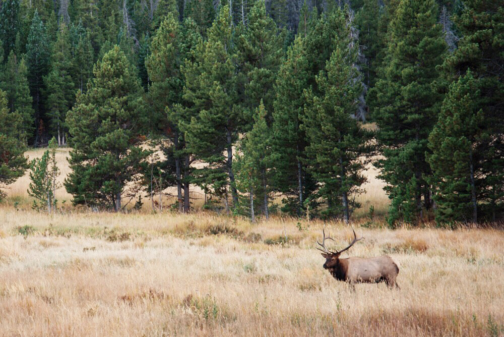 Bull elk in Rocky Mountain National Park, Colorado