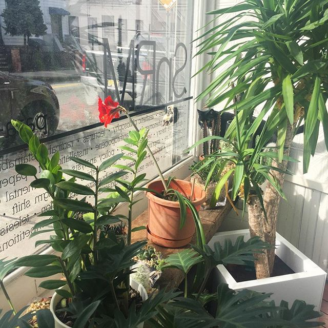 Milo is coming to check out the blossoming amaryllis. Happy Spring! #snrmcat #springtime #storefront #windowdisplay