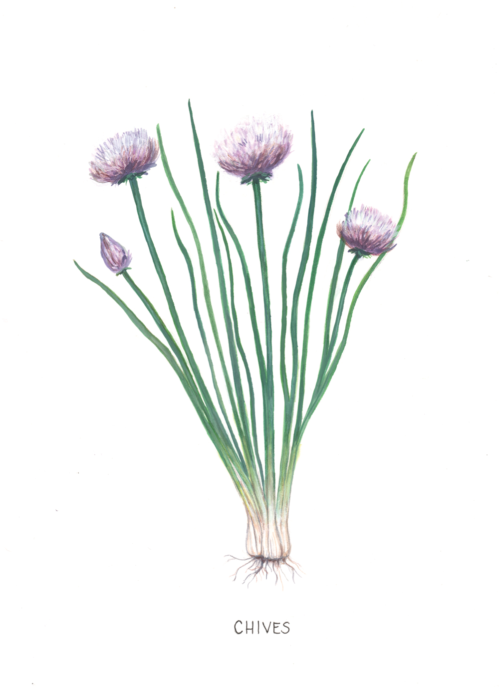 Botanical Illustration