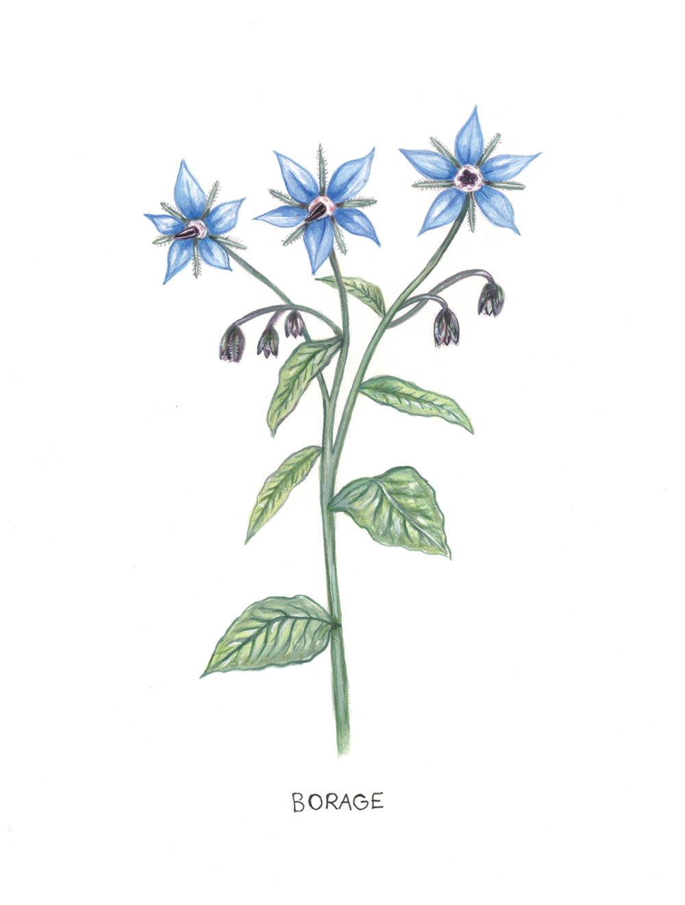 Botanical Illustraion
