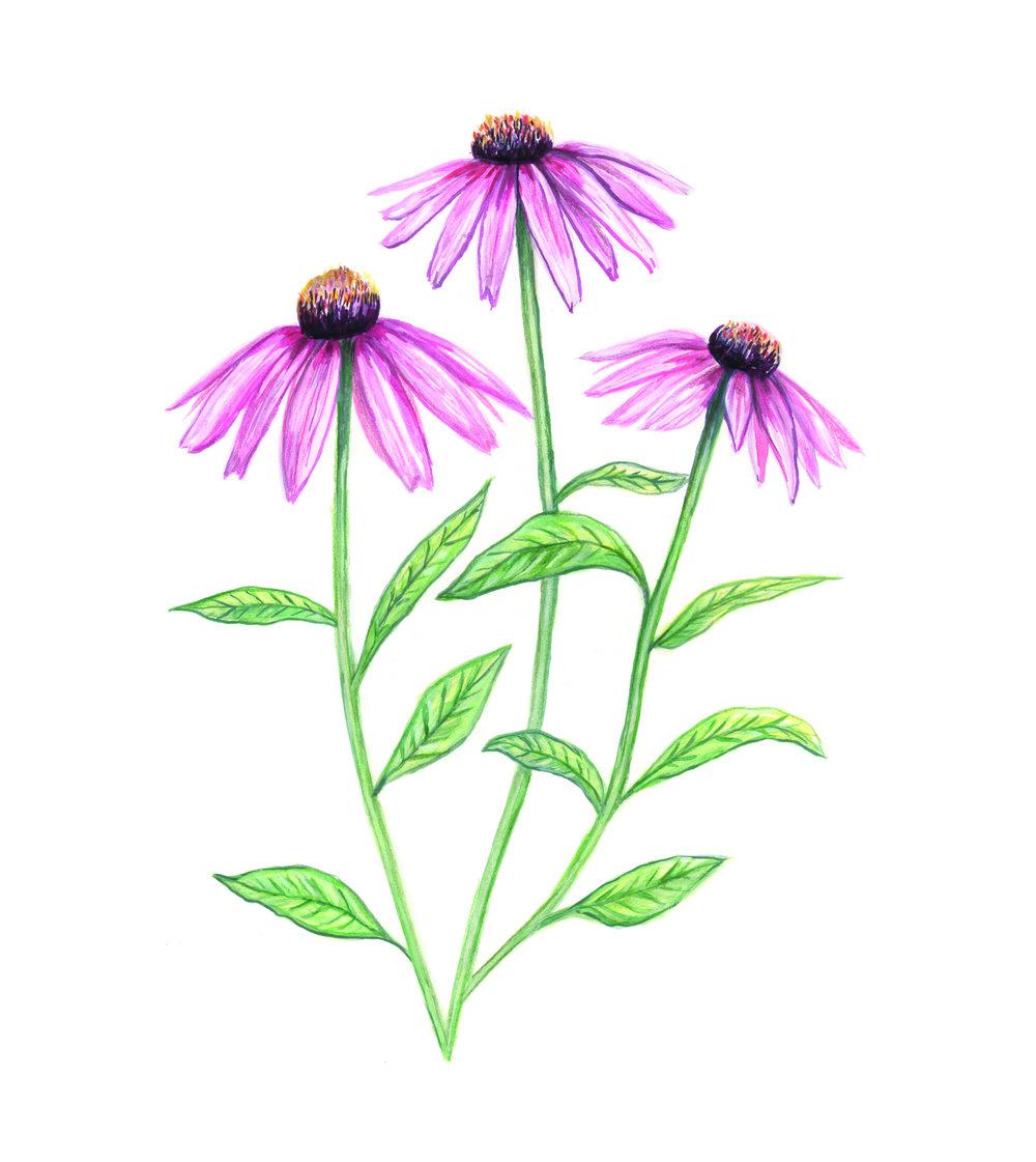 Echinacea copy.jpg