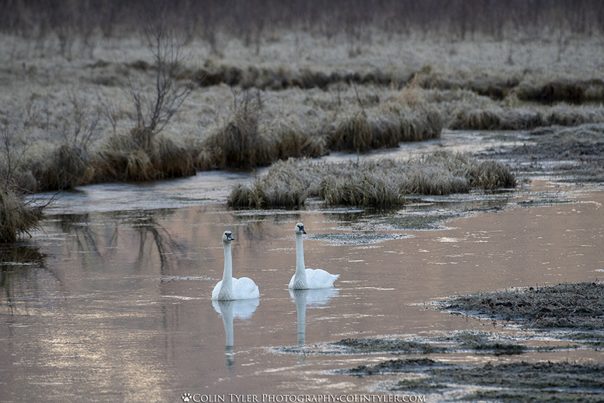 Trumpeter swans at the Eagle River Nature Center