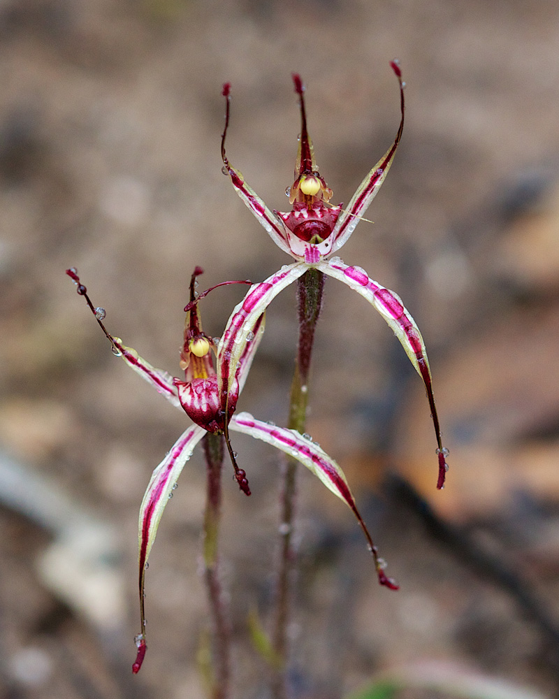 Sigmoid Spider Orchid