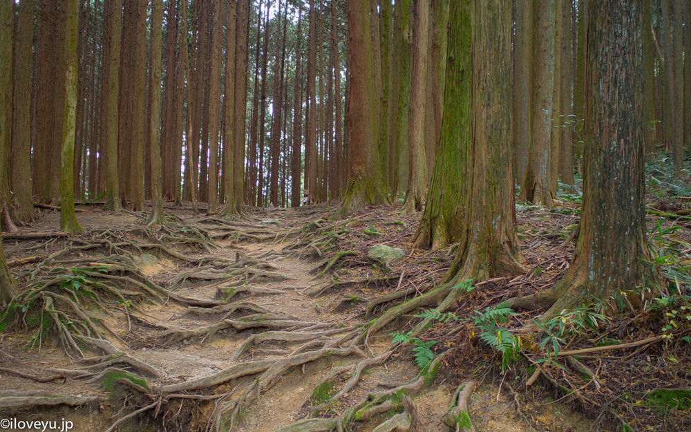 7.    The maze of exposed roots in Kurama, Kyoto is one of the iconic images of Japan. I found this area much more scenic and much less traveled.