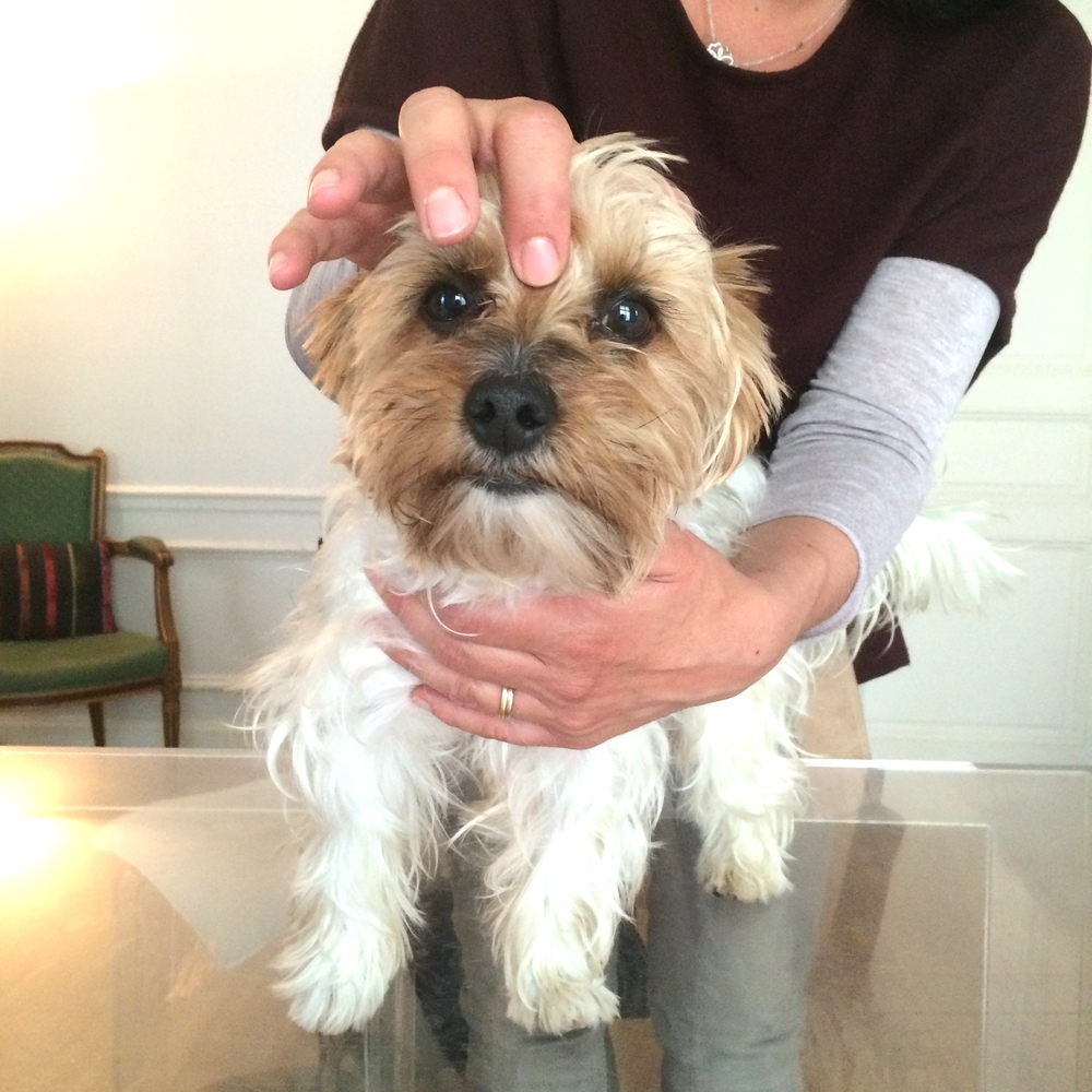 Connaissez vous le shiatsu pour chiens jetset souffl for Hotels qui acceptent les chiens