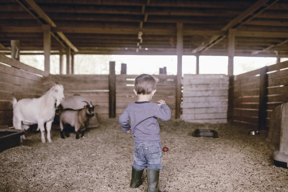 kids feeding apples to the goats in the barn at the farm / heirloomed