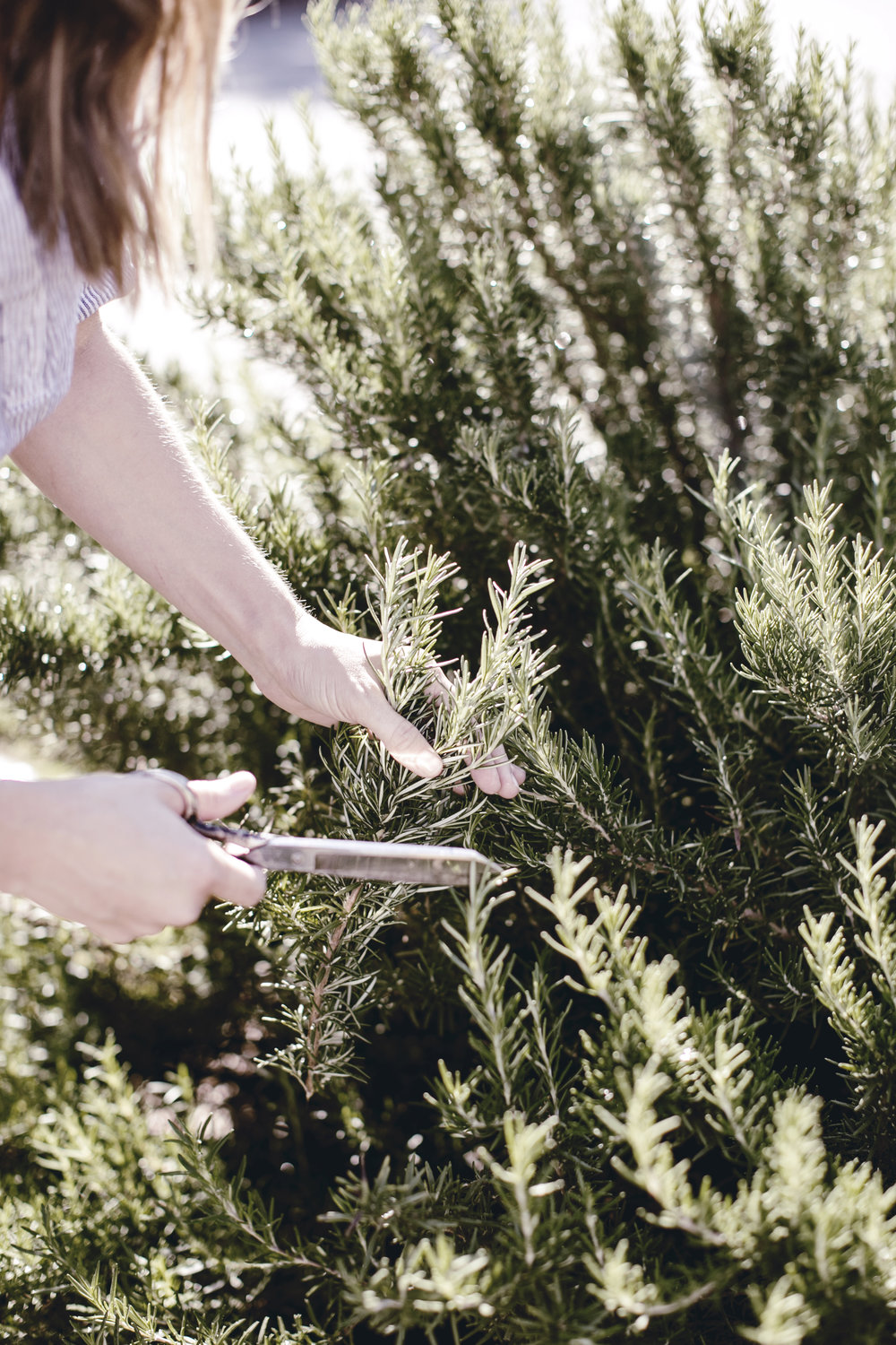 cutting fresh rosemary from the herb garden / heirloomed