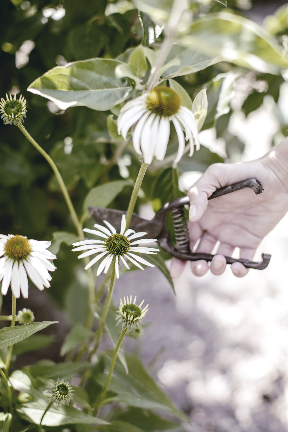 clipping fresh coneflowers / heirloomed