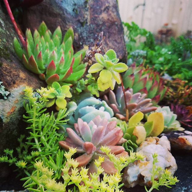 Dewy succulents from the Flower Child Plants  garden 💖