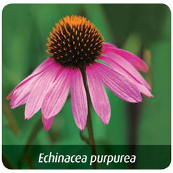 how-to-avoid-getting-sick-this-winter-echinacea