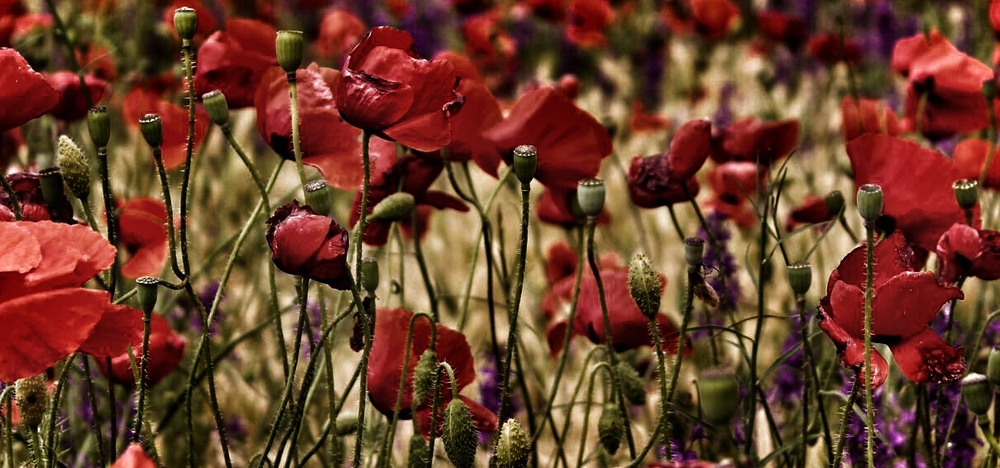 ANZACpoppies
