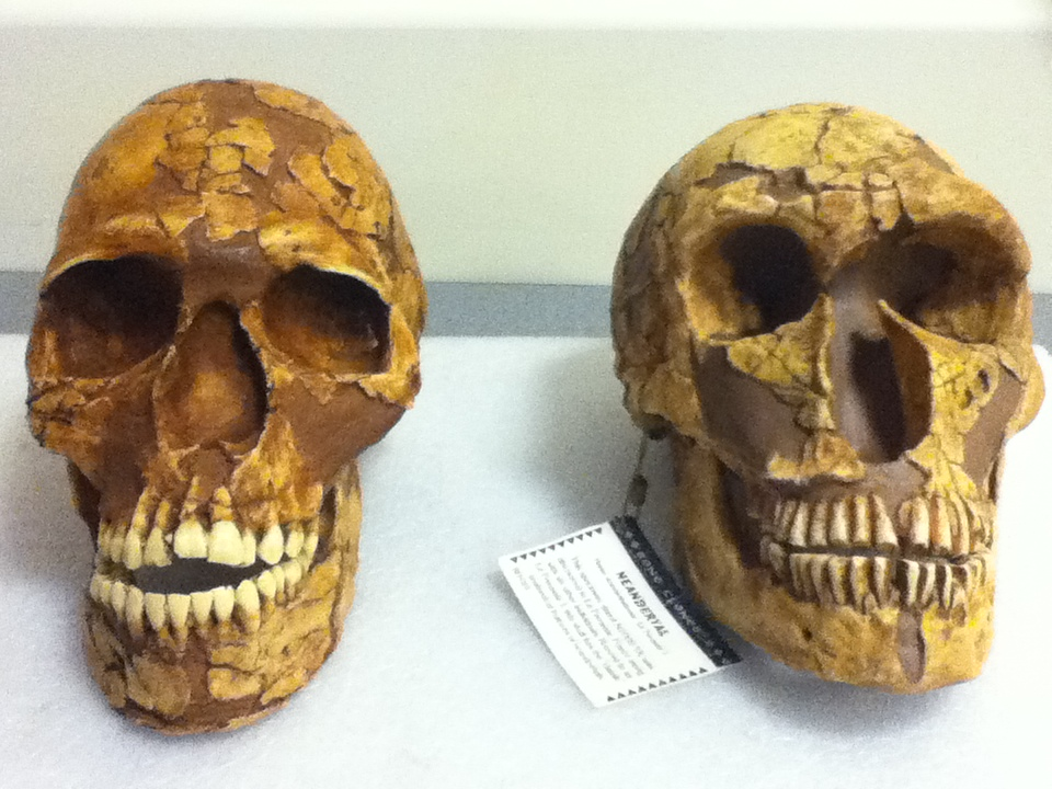 Early modern human and Neanderthal skulls at  Denver Museum of Nature and Science . Photo: CSPeterson 2013