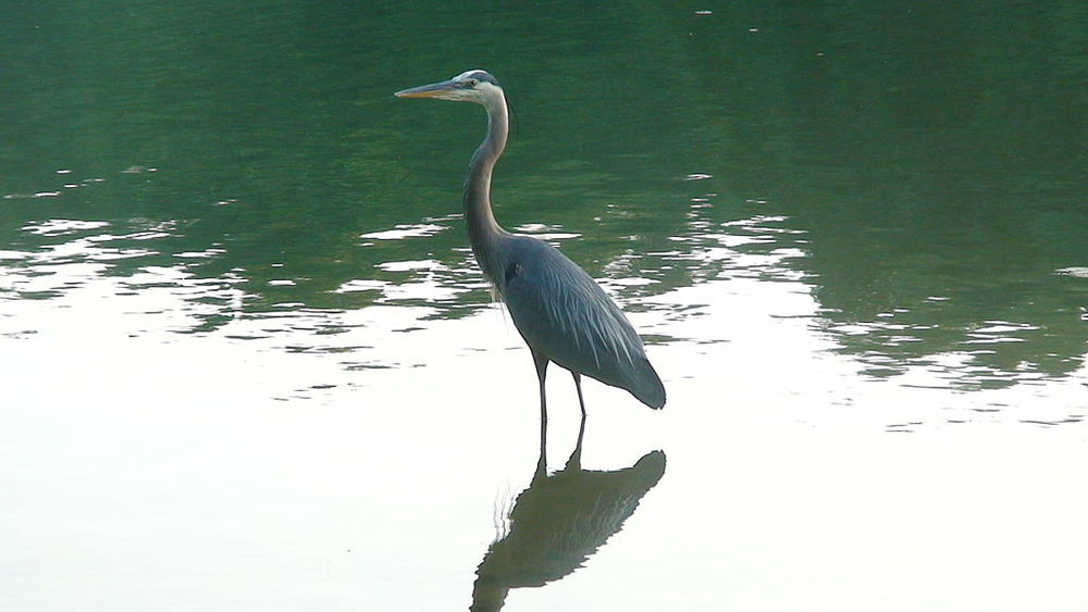 Great_blue_heron.jpg