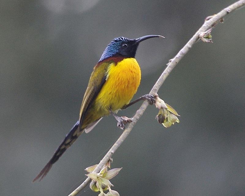 Green-tailed_Sunbird_(Aethopyga_nipalensis).jpg